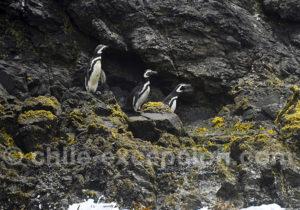Colonie de manchots de Humboldt, Chiloé