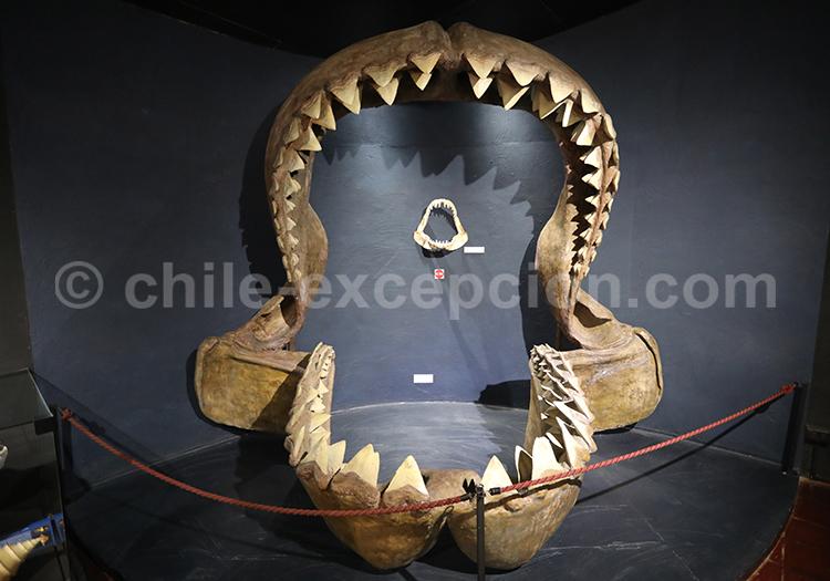 Musée Colchagua, fossiles de requin géant