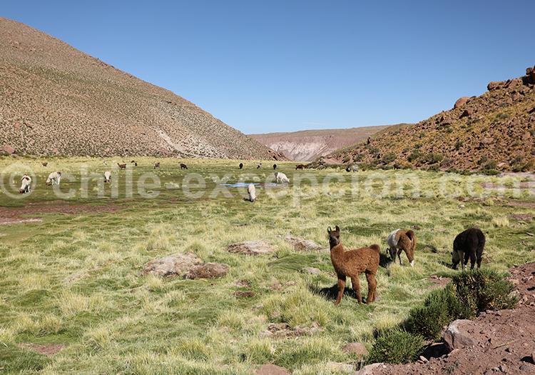 Machuca, route ancestrale de caravane de lamas