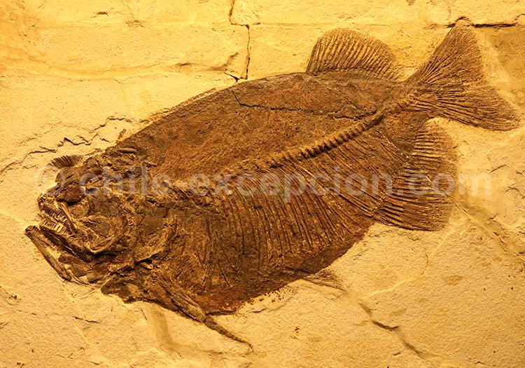Musée Colchagua, Trilobites