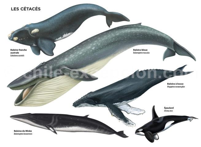 Infographie des baleines au Chili avec Chile Excepción