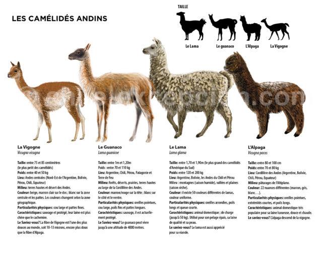 Infograhie des camélidés du Chili avec Chile Excepción