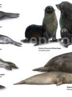 Infographie des pinnipèdes au Chili avec Chile Excepción