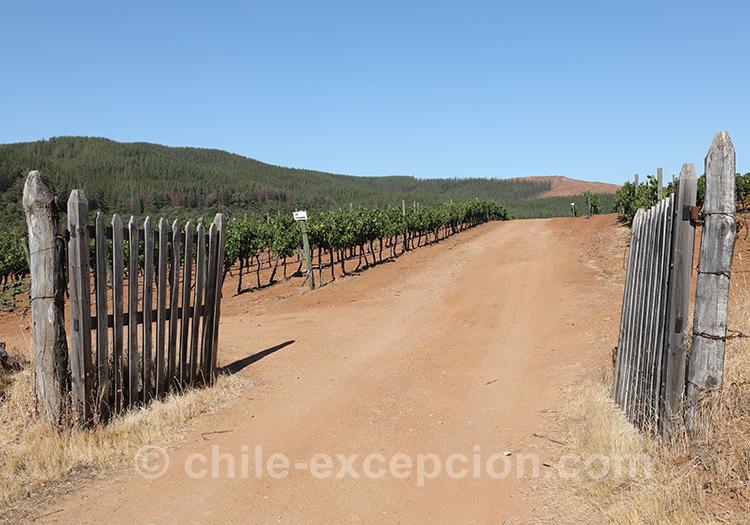 Se promener dans les vignes de la Casa Bouchon, vallée del Maule, Chili