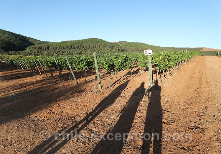 Fin de journée dans les vignes de la Casa Bouchon, Chili
