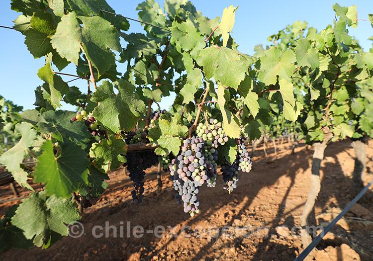 Raisin des vignes de la Casa Bouchon, Chili