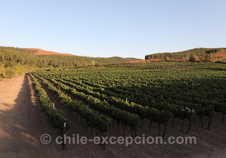 Coucher de soleil sur les vignes de Casa Bouchon, Chili