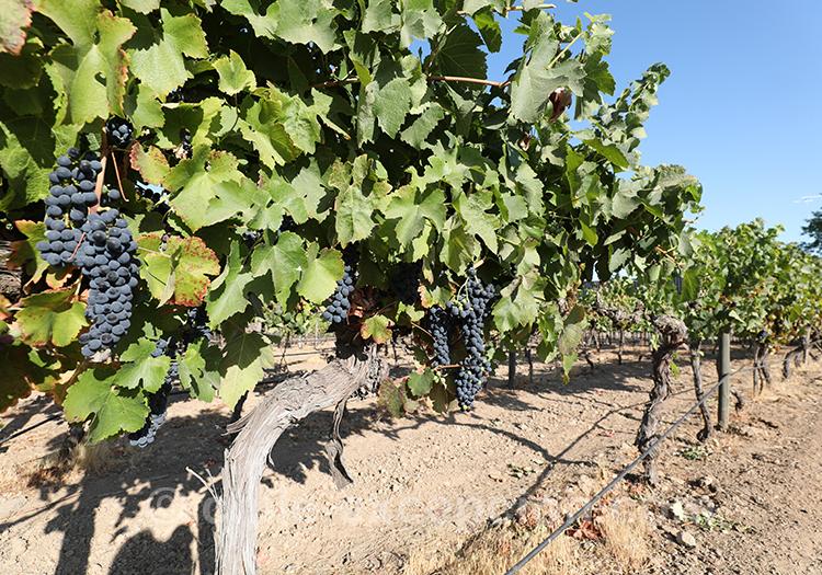 Plan de vignes à Casa Bouchon, Chili