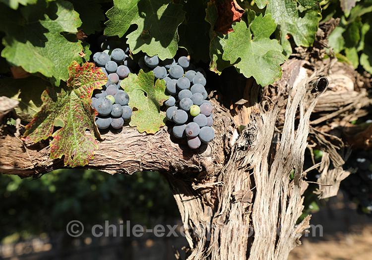 Découvrir le raison chilien à la viña Casa Bouchon, Chili