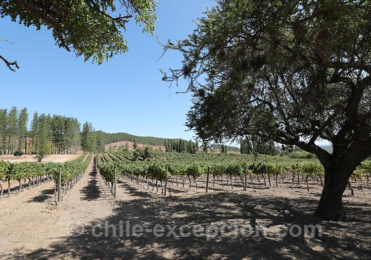Les vignes de Casa Bouchon, vallée del Maule, Chili