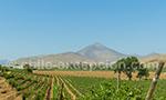 Viña Dalbosco, vallée de Limarí, Chili