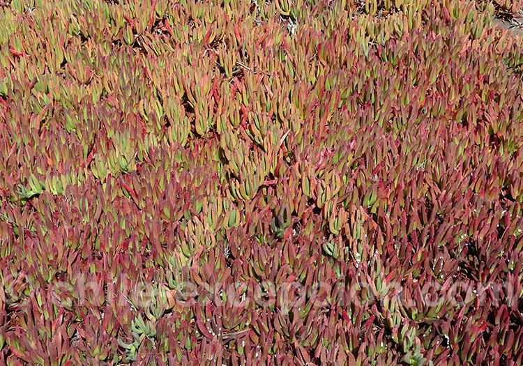 Docas, plantes des côtes chiliennes