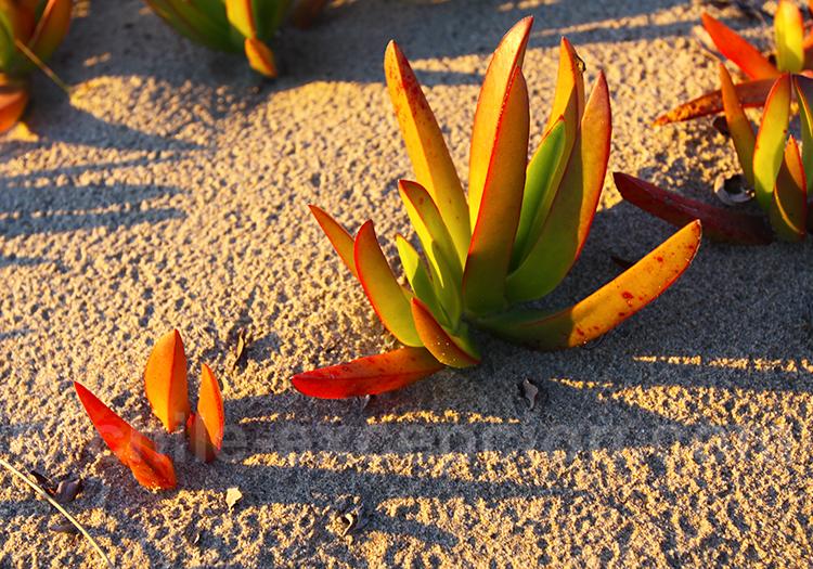 La doca, flore des sables
