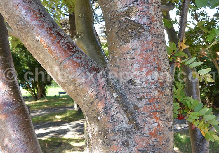 Tronc du sorbier, arbre du Chili