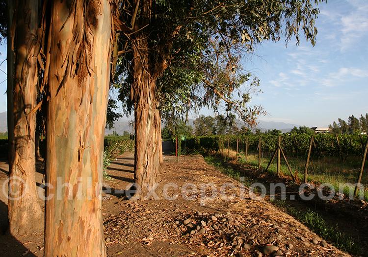 Eucalyptus à la viña Cas Silva