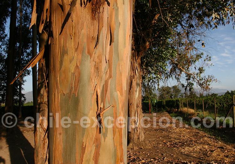 L'écorse de l'eucalyptus