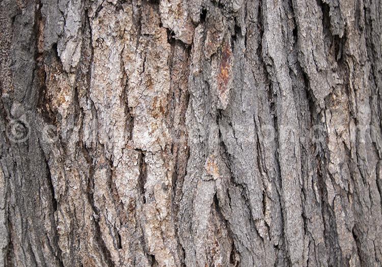 Lenga tronc, arbre du Chili
