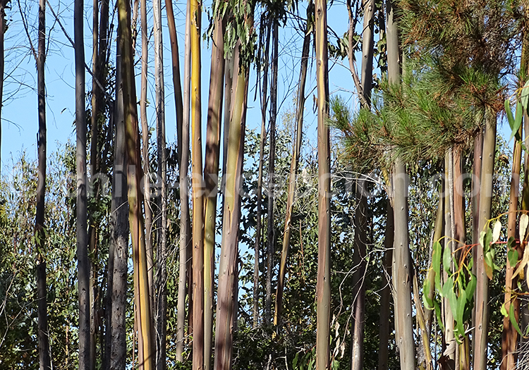 La flore du Chili, eucalyptus