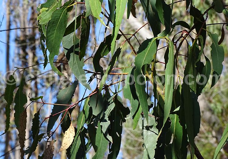 Découvrir les feuilles de l'eucalyptus, Chili