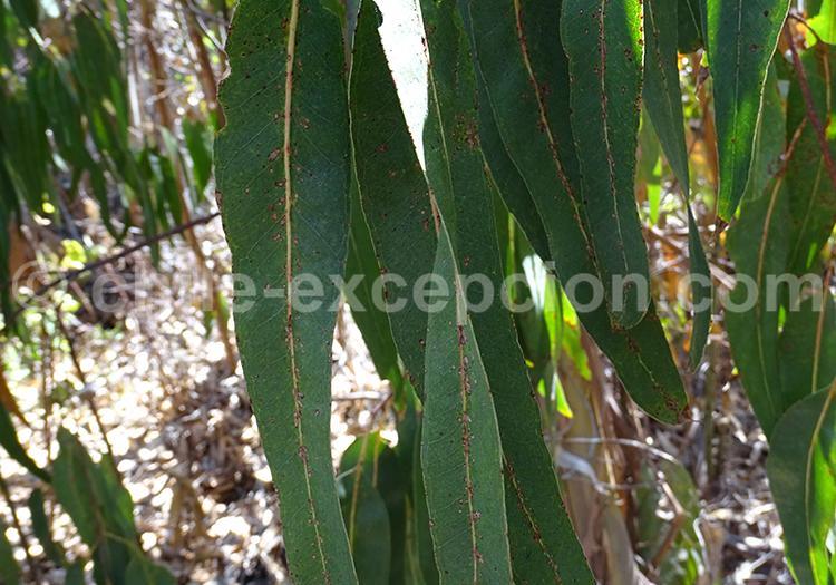 Eucaliptus du Chili