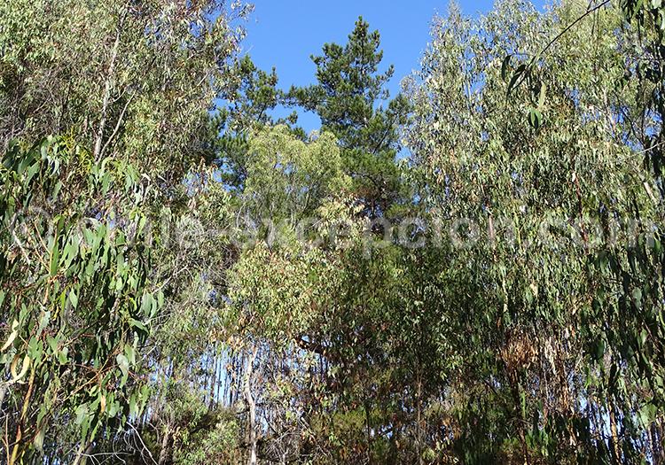 Les arbres du Chili : eucalyptus