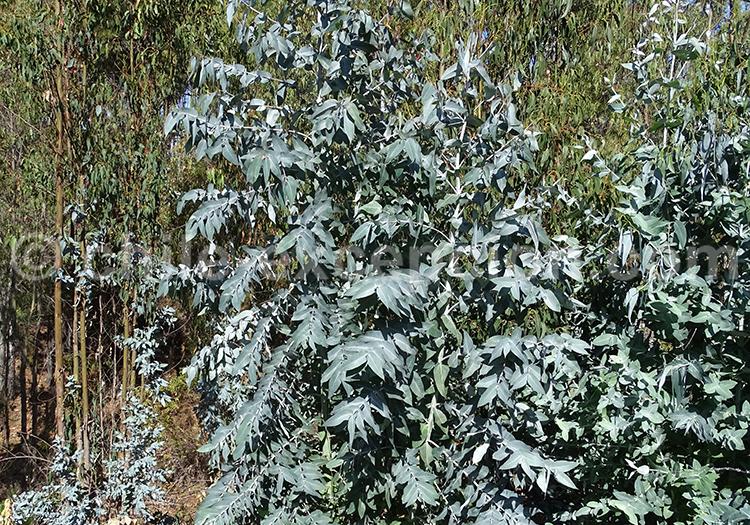 Où trouver de l'eucalyptus au Chili