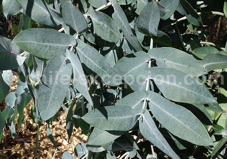 Feuilles d'eucalyptus, arbre du Chili