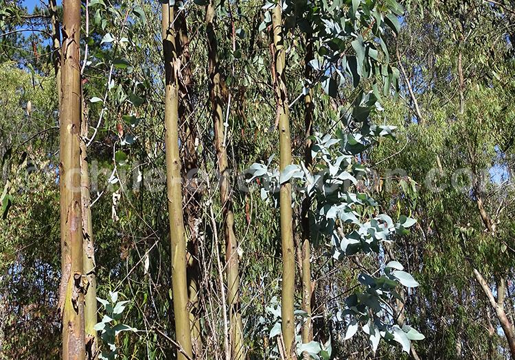 A quoi sert l'eucalyptus, Chili