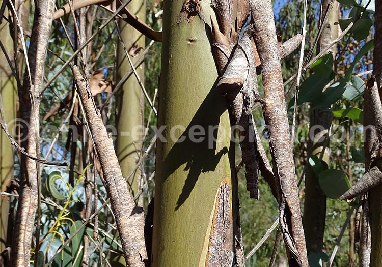 Tronc d'un eucalyptus du Chili