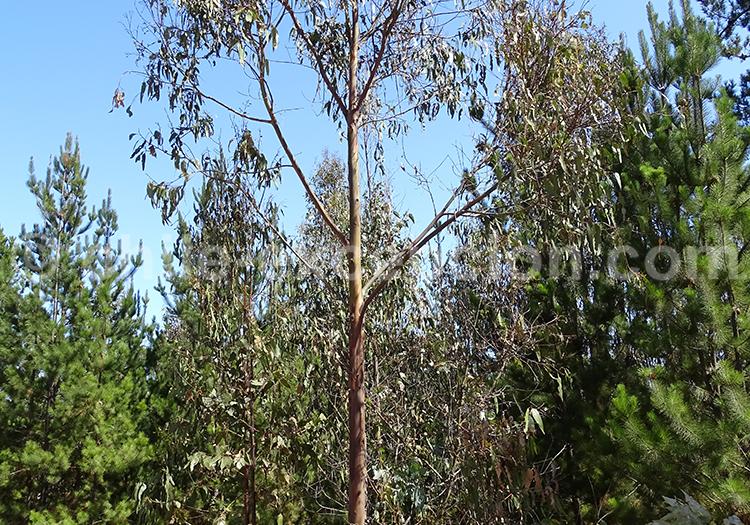 Flore du Chili, découvrir l'eucalyptus