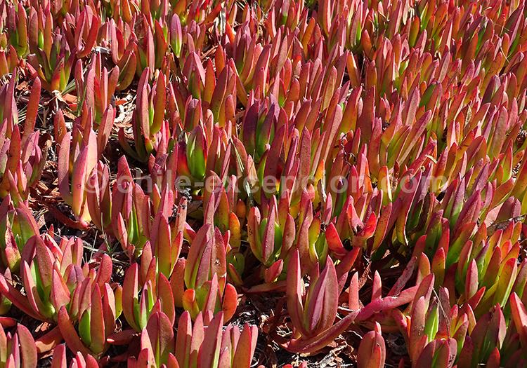 Docas, flore du Chili avec l