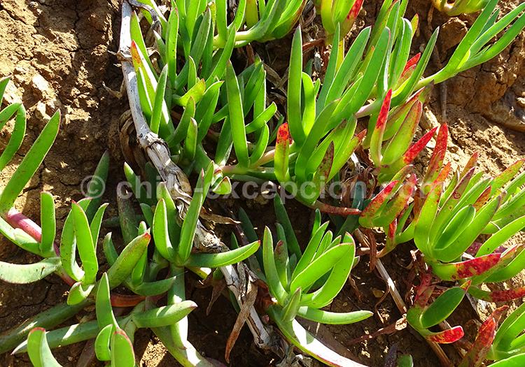 Doca, plantes du Chili