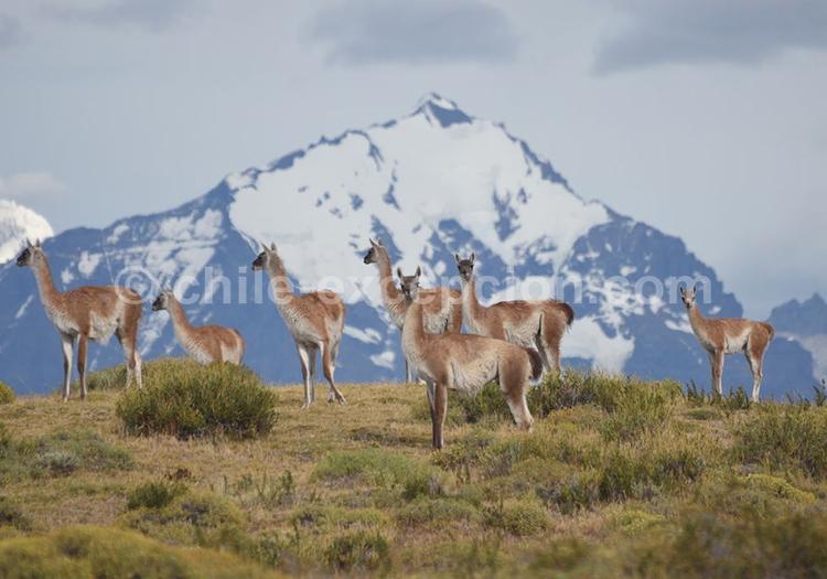 Guanaco à Torres del Paine