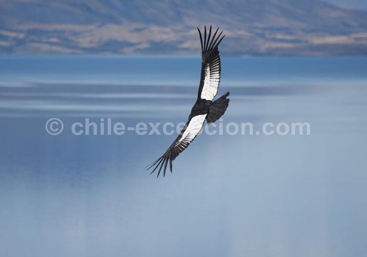 Oiseau de Patagonie