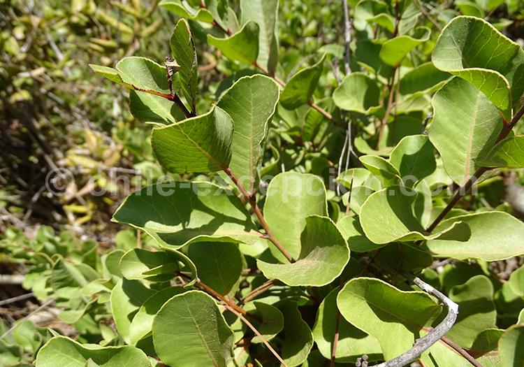 Quillay jeune, flore endémique du Chili