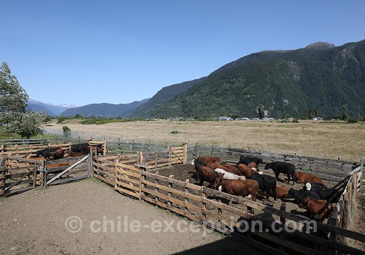 Elevages au Chili, culture huaso