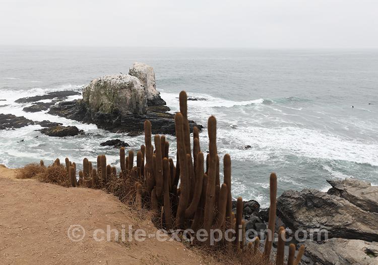 Cactus de Punta de Lobos, Pichilemu
