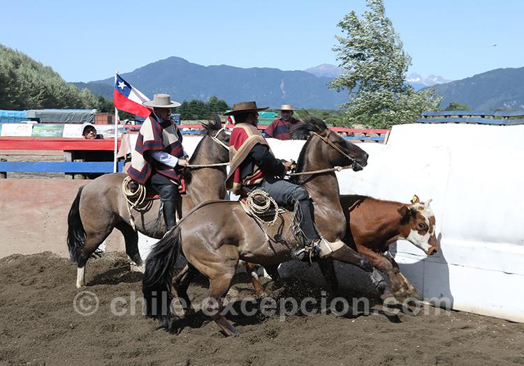 Dressage des chevaux et des boeufs, Chili