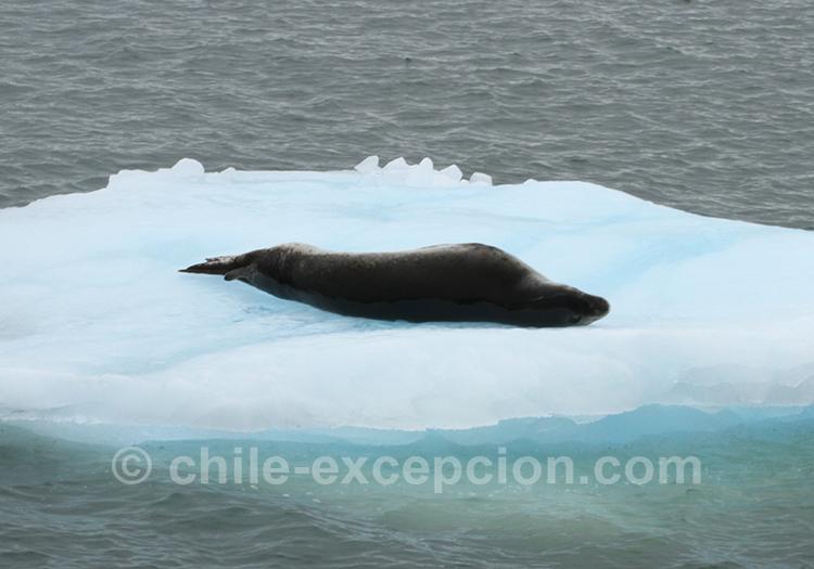 Lion de mer sur un iceberg sur le Lac San Rafael, Patagonie australe, Chili