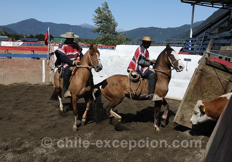 Voir du dressage au Chili