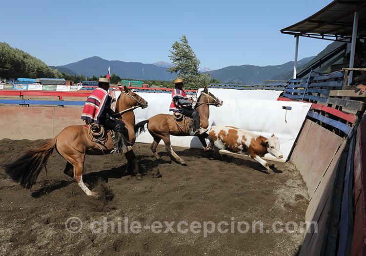 Chevaux et boeufs au Chili