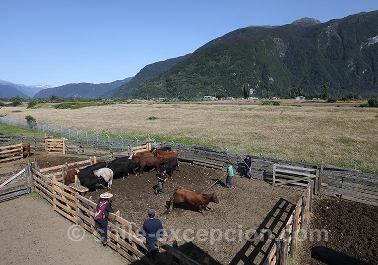 Découvrir l'élevage des boeufs au Chili