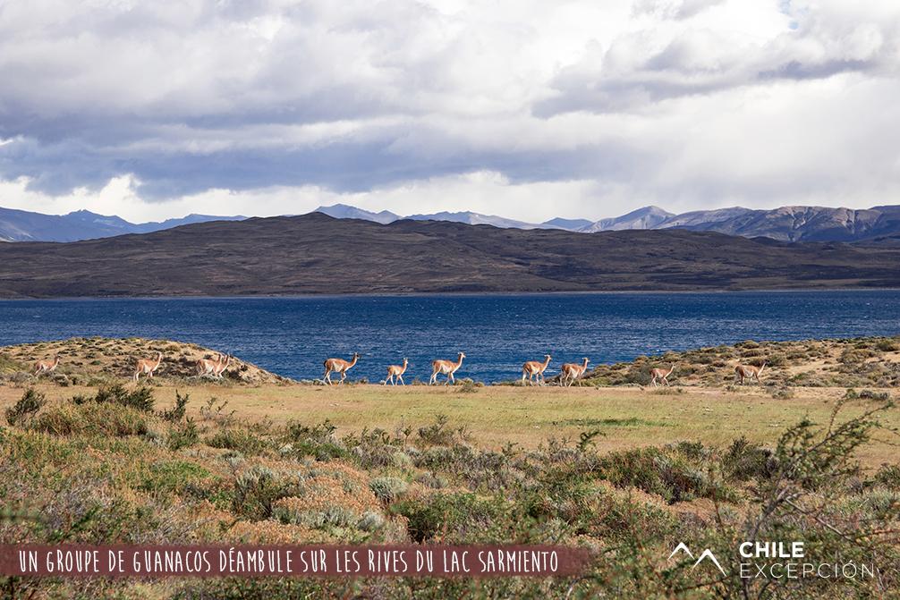 Un groupe de guanacos déambule sur les rives du lac Sarmiento