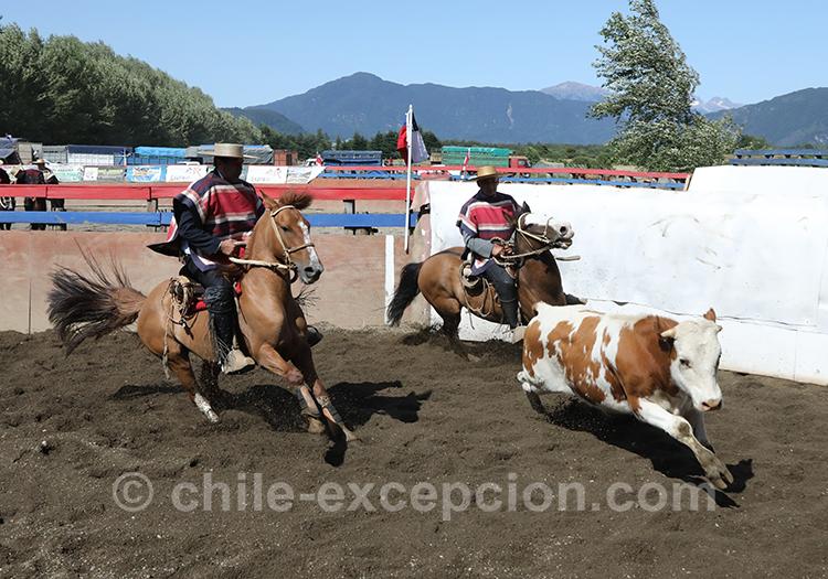 Spectacle impressionnant, le rodéo chilien