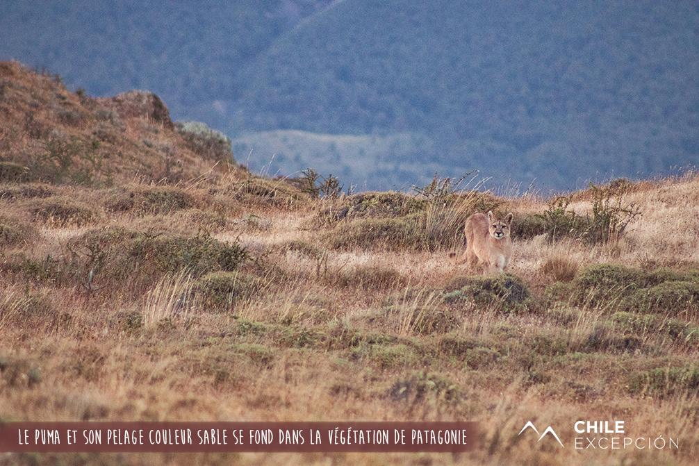 Le puma et son pelage couleur sable se fond dans la végétation de Patagonie