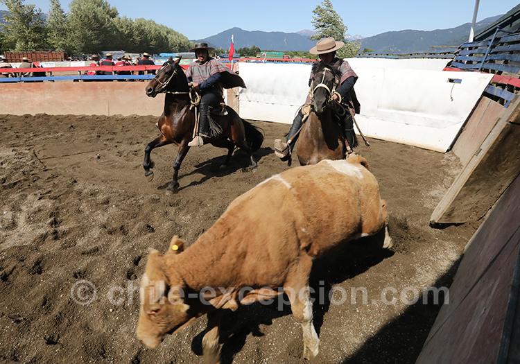 L'élevage des boeufs au Chili