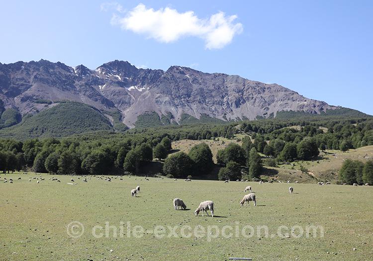 Moutons dans le parc national Cerro Castillo, Chili