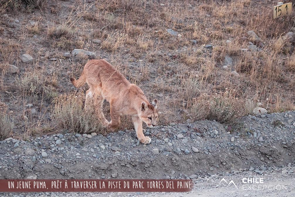 Un jeune puma, prêt à traverser la piste du parc Torres del Paine