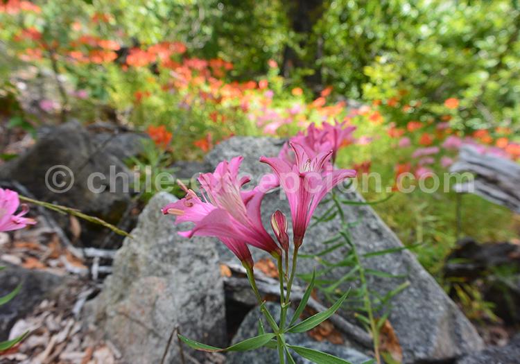 Flor de la réserve nationale Ñuble, Chili