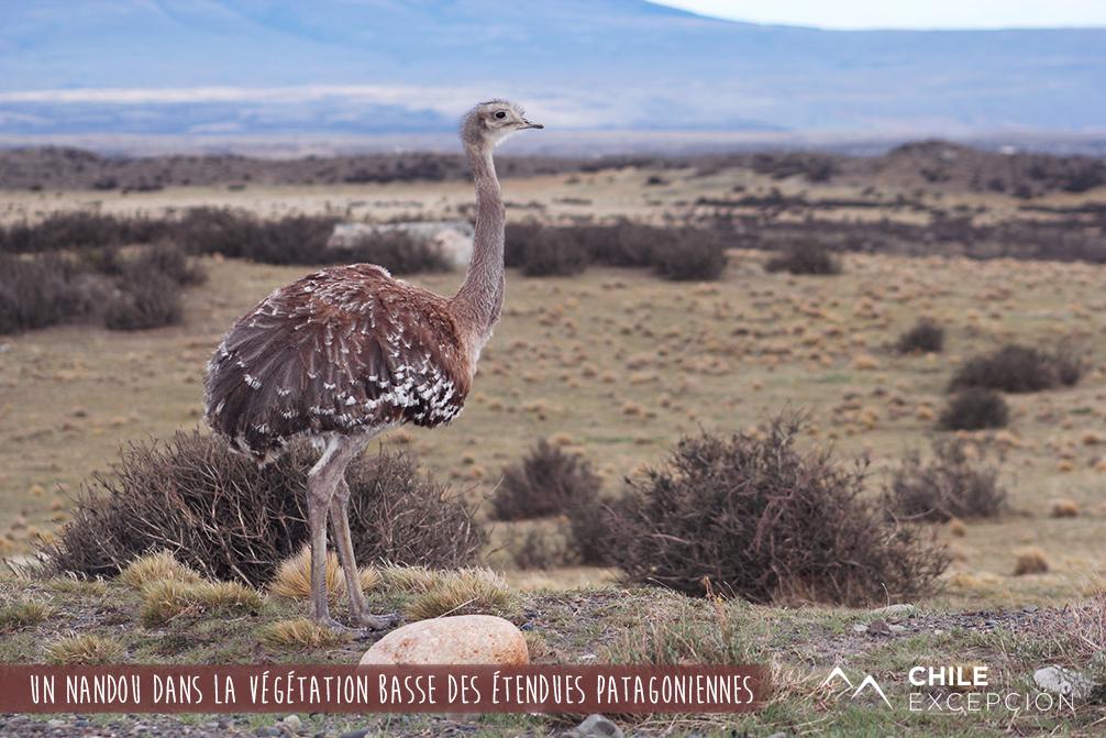Un nandou dans la végétation basse des étendues patagoniennes
